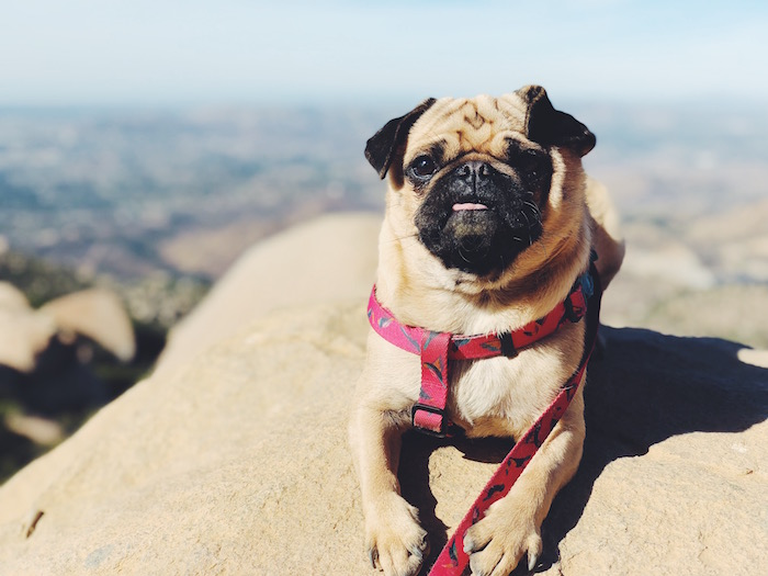 Gertie the Pug at Potato Chip Rock