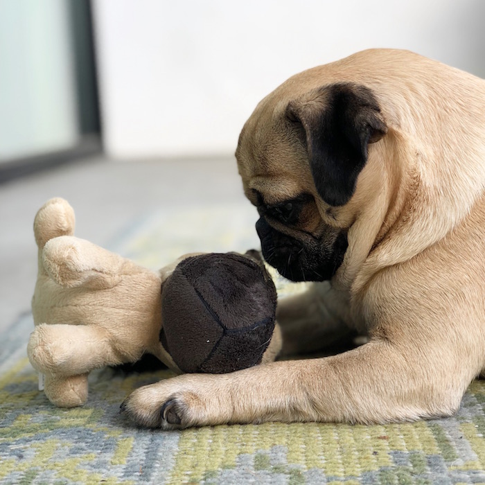 Gertie the Pug and her pug toy