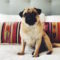Gertie the Pug and The Citizenry Lumbar Pillow